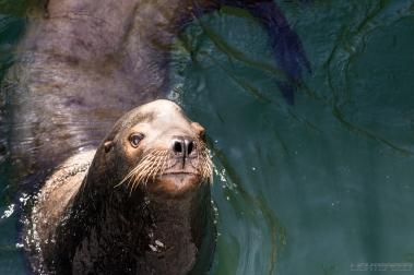 San Francisco Sea Lion